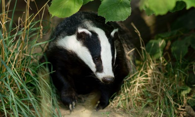 Badger Facts: What is a Badger?