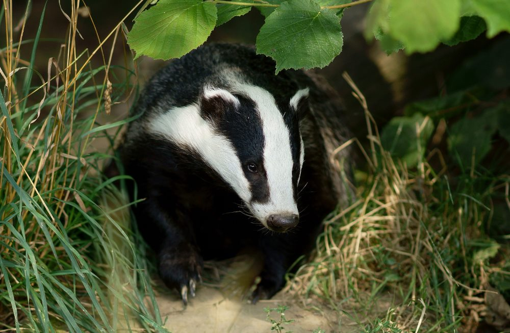 What is a badger