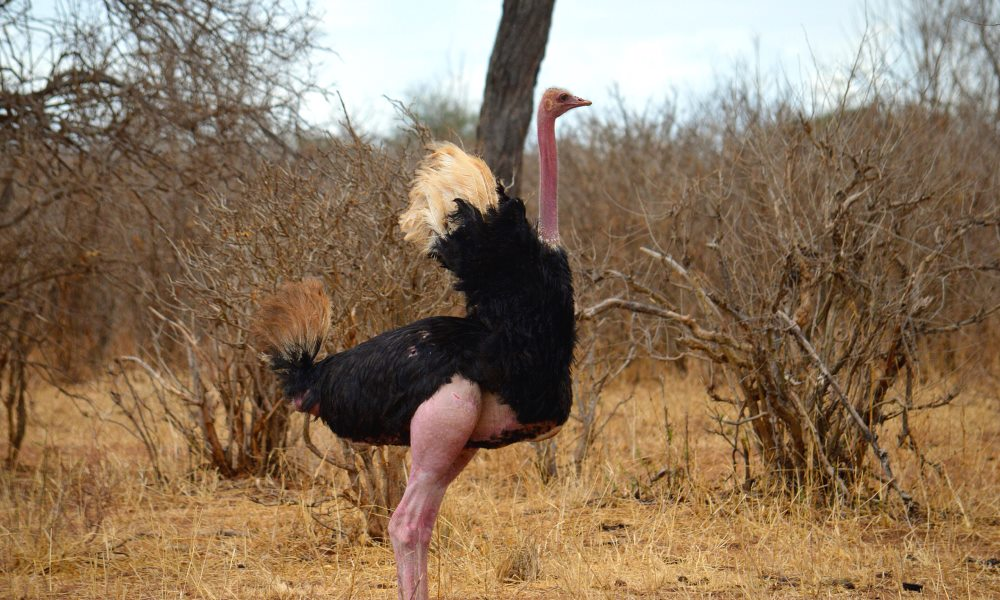 Ostrich attacks on humans