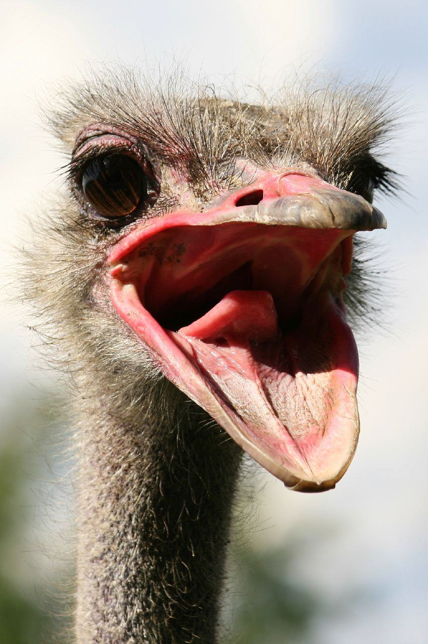 how to survive an ostrich attack human vs bird studioknow