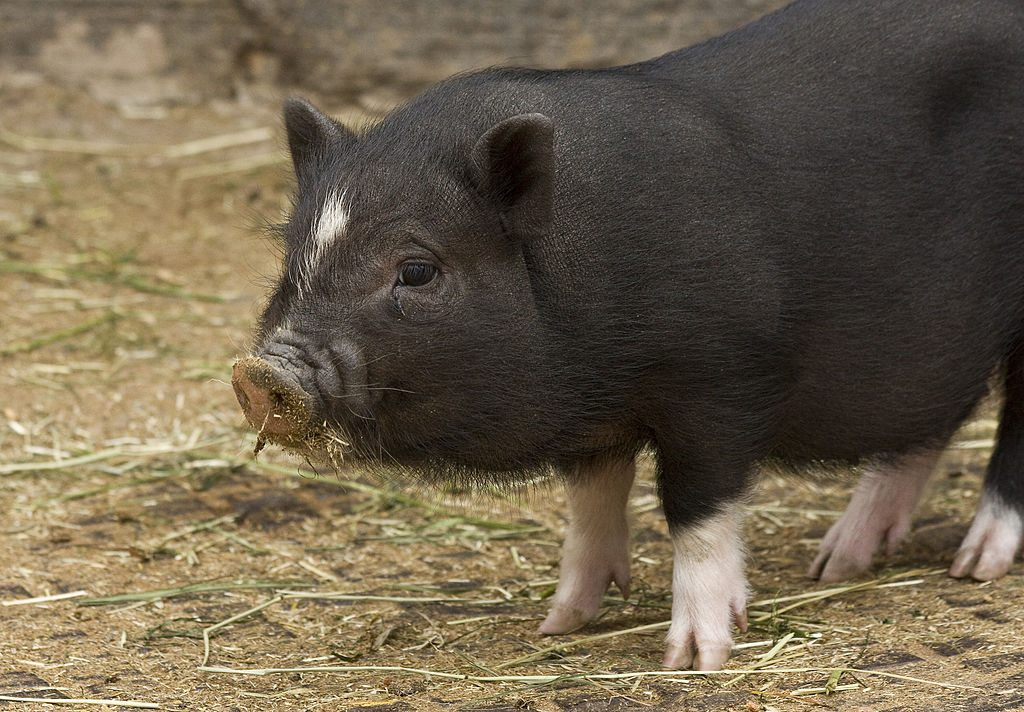 Can pigs get ebola?