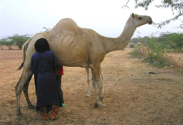 Camel milking in Africa