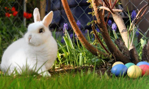 Do Rabbits Lay Eggs or Give Birth?