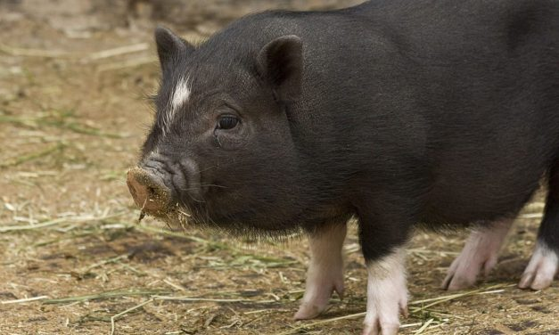 Can Miniature Pigs Get Ebola?